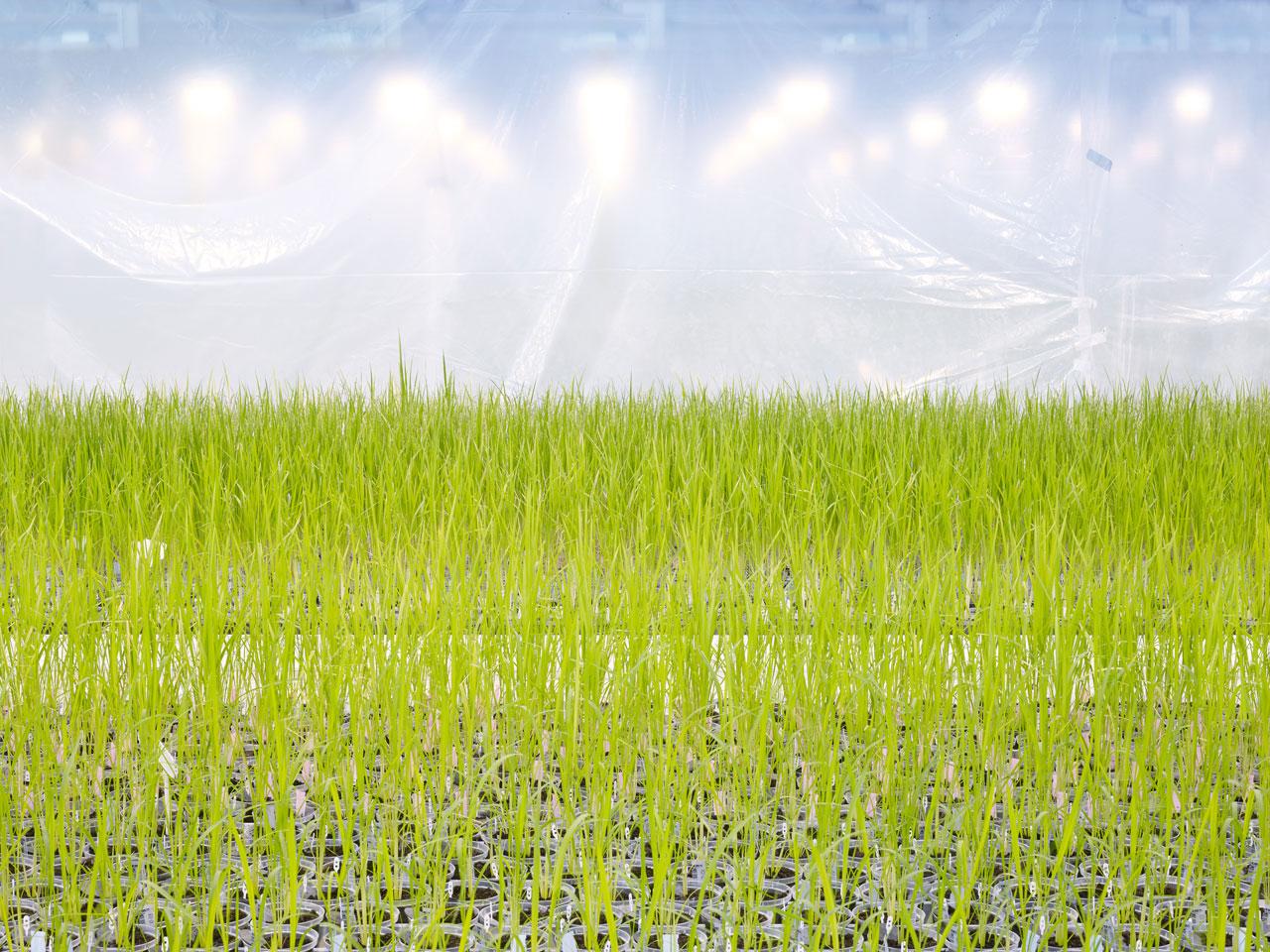 In Reih und Glied: Die genmanipulierten Reispflanzen werden automatisch auf Förderbändern bewegt, um ihr Wachstum zu kontrollieren.