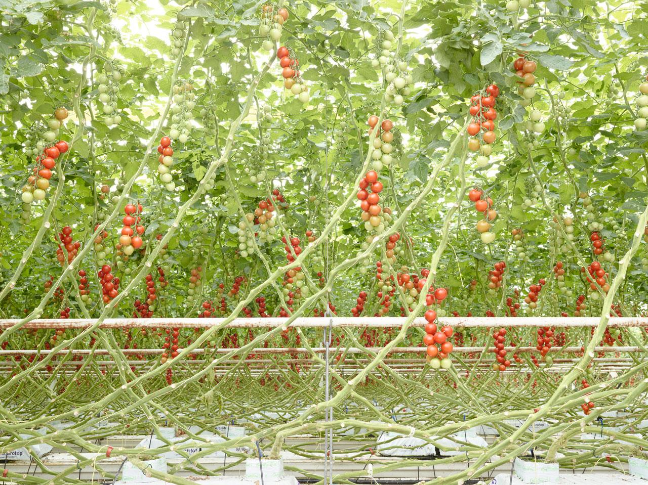 Nur noch in Steinwolle verwurzelt: Eine wie die andere wachsen die Tomaten im geregelten Klima eines Hochleistungs-Gewächshauses.
