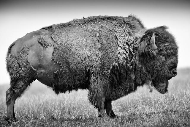 Bison oder Amerikanischer Bueffel (Bison bison), adulter Bulle zeigt seine Breitseite, befindet sich im Fellwechsel und verliert das dicke Winterfell, Bad River Ranch (Ranch von Ted Turner), Fort Pierre, South Dakota, USADieses Bild ist Teil des Fotoprojektes BUFFALO BALLAD.
