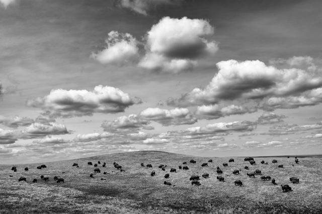 Bisonherde in der Weite der Prairie, Bad River Ranch (Farm von Ted Turner), Fort Pierre, South Dakota, USADieses Bild ist Teil des Fotoprojektes BUFFALO BALLAD.INFO:Der Donner rollte über die Prärie – und dann war Stille.Wahrscheinlich waren es mehr als 30 Millionen Amerikanische Bisons, die über die Ebenen des Mittleren Westens zogen. Nichts war kraftvoller in der Prärie, weder physisch noch spirituell. Für die Indianer war der Bison alles. Der Bison war ihr Leben.Mit der Besiedelung des Landes durch die Europäer begann ein gigantisches Schlachten. Niemals zuvor haben Menschen in einem so kurzen Zeitraum so viele Tiere getötet. In weniger als zwei Jahrzehnten wurde nahezu die gesamte Population vernichtet.Die Geschichte der Bisons ist eine Parabel über Globalisierung und das Zusammenspiel von technischem Fortschritt, Kapitalismus, Unverständnis ökologischer Zusammenhänge, Ideologien und Politik. Die Folge war ein ökologisches, ökonomisches und soziales Desaster. Das ganze Land erkrankte. Mit dem Bison ging die Prärie – und mit ihr die Hoffnung. Jetzt kehrt der Bison zurück. Es ist eine Reise in die Vergangenheit, um wieder eine Zukunft zu haben.Und dies ist keine Nostalgie. Der Bison ist ein real existierendes soziokulturelles Phänomen. Er ist Gegenstand einer aktuellen politischen Auseinandersetzung zwischen Rinderzüchtern und der Bison-Lobby. Diese archaische Kreatur ist das Zentrum einer symbiotischen Beziehung von Tier und Umwelt und einer Gesellschaft des 21. Jahrhunderts. Der Bison ist die Matrix.