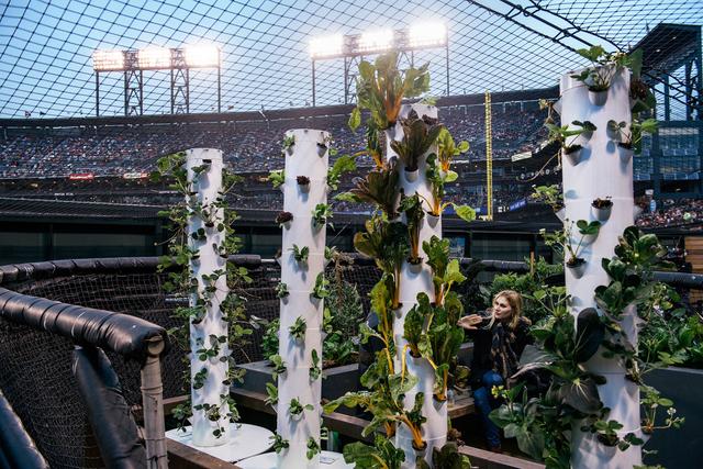 Im Baseball-Stadion der Giants in San Francisco befindet sich ein Garten direkt neben dem Spielfeld. Die Idee dahinter: ein Bewusstsein für die Herkunft von Lebensmitteln zu schaffen.