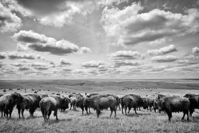 Bisonherde in den Weiten der Prärie. Bad River Ranch, Fort Pierre, South Dakota, USA.