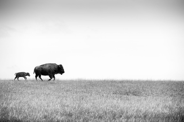 Ein Bison-Jungtier folgt seiner Mutter. Bad River Ranch, Fort Pierre, South Dakota, USA.