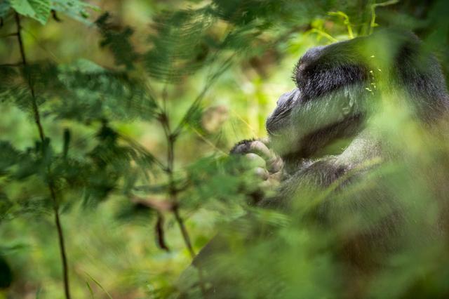 Bild 3: Gorilla im Bwindi Impenetrable Forest National Park, Uganda.